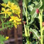 Звіробій звичайний (Hypericum perforatum1 L.)